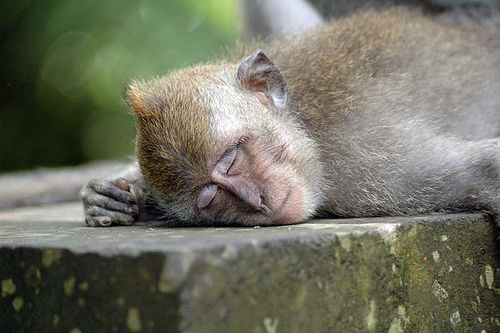 Monkey asleep