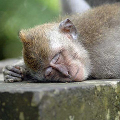 Sleepy-monkey_240