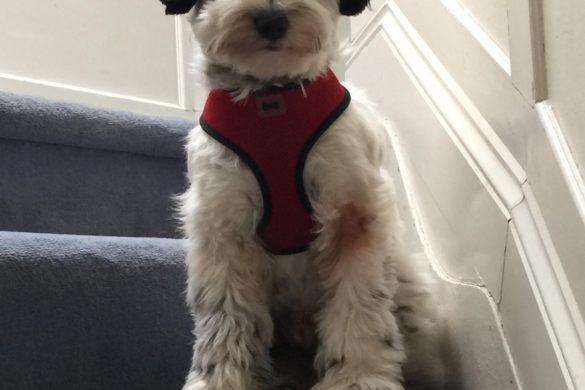 Tallulah is Lottie's Mal-Shi pet dog